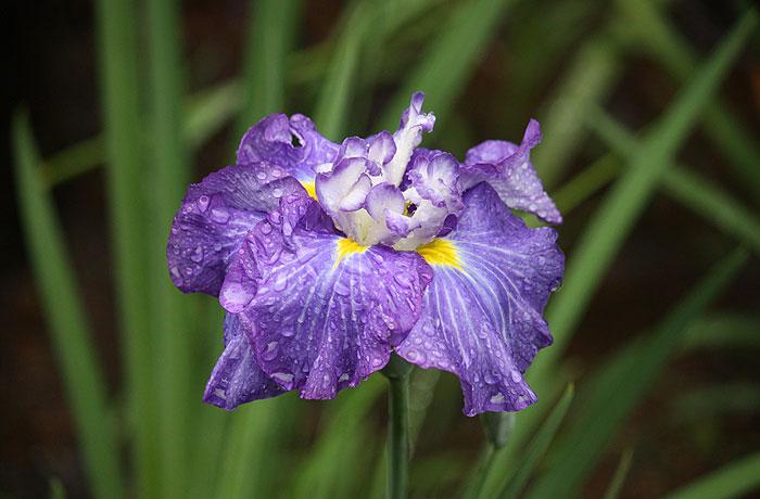 Flower(Shobu),2010.6.19